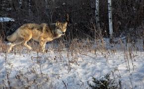 Картинка зима, лес, снег, природа, волк, хищник
