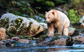 Картинка лес, поза, камни, берег, мох, светлый, медведь, водоем, валуны, дикая природа, булыжники, кермод
