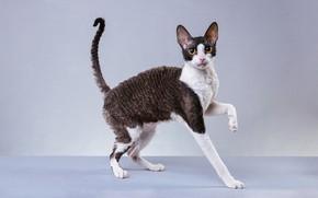 Картинка кошка, кот, взгляд, морда, поза, котенок, фон, черно-белый, портрет, лапы, котёнок, желтые глаза, длинные ноги, …