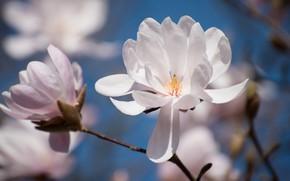 Картинка макро, цветы, ветки, весна, лепестки, бутон, белые, цветение, голубой фон, боке, магнолия
