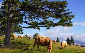 Картинка дерево, корова, коровы, пастбище