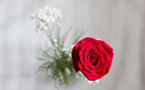 Картинка макро, фон, роза, бутон, красная роза, боке