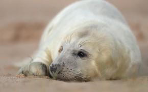 Картинка белый, взгляд, морда, фон, тюлень, малыш, лежит, детеныш, милашка, размытый