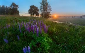 Картинка деревья, пейзаж, цветы, природа, туман, утро, луг, травы, люпины, речушка