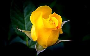 Картинка роза, бутон, тёмный фон, жёлтая роза