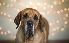 Картинка друг, собака, Brazilian Mastiff