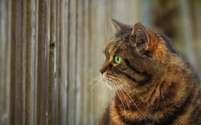 Картинка кот, взгляд, забор, профиль