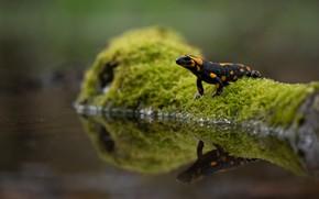 Картинка зелень, вода, природа, отражение, мох, коряга, боке, огненная, пятнистая, саламандра