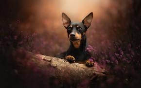 Картинка собака, бревно, мордашка, боке, пёсик, вереск, Карликовый пинчер