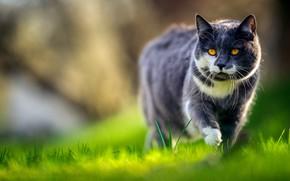 Картинка зелень, кошка, трава, кот, взгляд, свет, серый, поляна, крадется, красавец, боке, дымчатый, желтые глаза, с …