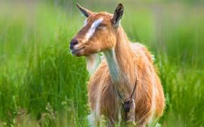 Картинка зелень, трава, взгляд, морда, фон, портрет, луг, рыжая, коза, домашняя, козочка, домашний скот