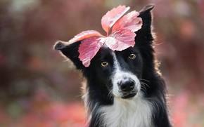 Картинка осень, взгляд, морда, лист, фон, листок, черно-белая, портрет, собака, листик, образ, украшение, боке, бордер-колли, на …