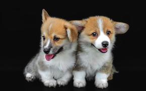 Картинка язык, собаки, поза, собака, щенки, щенок, черный фон, парочка, два, две собаки, милые, мордашки, корги, …