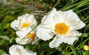 Картинка цветы, сад, белые, пионы, зелень, трава