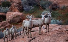 Картинка природа, фон, Big Horn Sheep