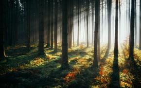 Картинка лес, деревья, дымка, солнечный свет