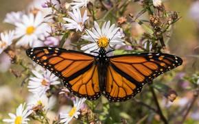 Картинка макро, цветы, бабочка, насекомое, монарх