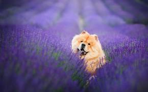 Картинка поле, язык, взгляд, морда, цветы, поза, портрет, собака, клыки, рыжая, сидит, ряды, лаванда, плантация, сиреневый …