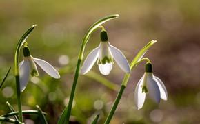 Картинка макро, свет, цветы, весна, подснежники, белые, трио, боке