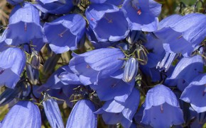 Картинка цветы, голубые, колокольчики