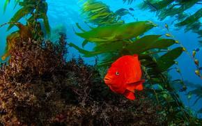 Картинка водоросли, океан, рыба, Гарибальдия