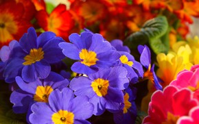 Картинка Цветочки, Flowers, Colors, Примула, Синие цветочки