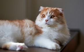 Картинка кошка, кот, фон, лежит, красотка, вислоухая, белая с рыжим