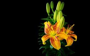 Картинка цветы, яркие, лилии, куст, желтые, черный фон, бутоны, композиция, в крапинку