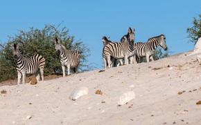 Картинка песок, небо, взгляд, природа, камни, куст, зебра, саванна, компания, много, стадо, зебры
