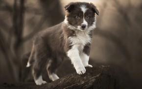 Картинка природа, поза, животное, камень, собака, щенок, детёныш, бордер-колли