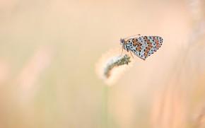 Картинка макро, бабочка, насекомое, рыжая, розовый фон, стебелек