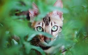 Картинка зелень, кошка, глаза, кот, взгляд, морда, листья, ветки, природа, серый, листва, портрет, полосатый, котэ, зеленоглазый, …