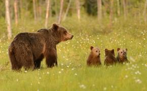 Картинка зелень, лес, лето, трава, взгляд, морда, природа, поза, поляна, медведь, медведи, профиль, медвежонок, стоит, малыши, …