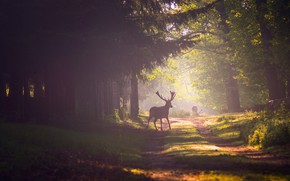 Картинка дорога, лес, лучи, свет, деревья, ветки, туман, парк, олень, дымка, олени