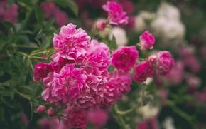 Картинка яркий, розовый, куст, розы