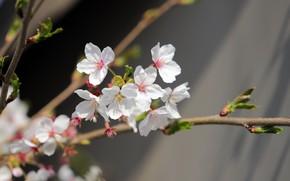 Картинка цветы, вишня, ветка, весна, сакура, белые, серый фон, цветение, боке