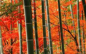 Картинка осень, бамбук, Япония, Киото, парк Арасияма