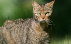 Картинка кошка, кот, взгляд, морда, свет, боке, размытый фон, лесной кот, дикий кот