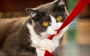 Картинка кошка, кот, взгляд, морда, серый, игра, портрет, лента, дымчатый, желтые глаза