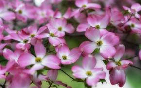 Картинка цветы, ветки, весна, розовые, цветение, много, кизил