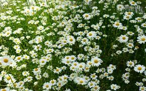 Картинка лето, цветы, ромашки, луг, белые, много, ромашковое поле