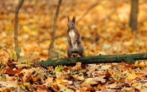 Картинка осень, листья, природа, поляна, листва, желтые, белка, бревно, стойка, осенние листья