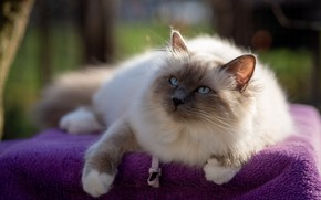 Картинка кошка, фиолетовый, кот, взгляд, поза, покрывало, мордочка, ткань, лежит, мех, боке, рэгдолл