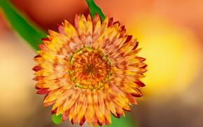 Картинка цветок, Fleur Walton, фон, коричневый