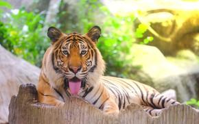 Картинка тигр, tiger, амурский тигр, animal, Amur tiger