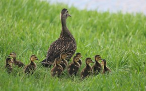 Картинка трава, птицы, природа, малыши, мама, Утки
