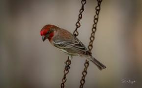 Картинка взгляд, птица, цепь, окрас, оперение