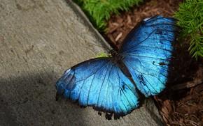 Картинка макро, бабочка, бетон, голубая, морфо