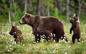 Картинка лес, лето, трава, природа, медведи, прогулка, малыши, медвежата, мама, детеныши, медведица, бурые, три медвежонка, хлопчатник