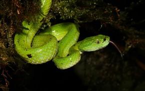 Картинка язык, поза, темный фон, мох, змея, зеленая, рептилия